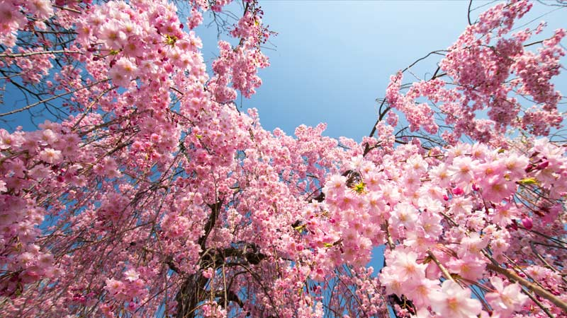 Photographer : Naomi Ishii, used under Creative Commons 2.0 Attribution license,
